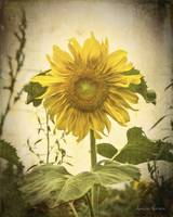Old Time Sunflower