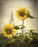 Old Time Sunflowers