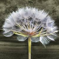 Storm Over The Dandelion Art Prints & Posters by Emily Colosimo
