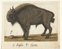 Album Sheet with a Bison, Albrecht Dürer, c. 1550