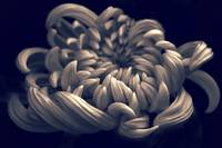 Chrysanthemum Curves