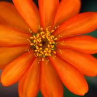 Profusion Orange Zinnia by Karen Adams