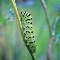 Black Swallowtail Butterfly Caterpillar in Garden by Karen Adams