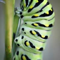 Black Swallowtail Butterfly Caterpillar Macro by Karen Adams