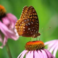 Great Spangled Fritillary in July by Karen Adams