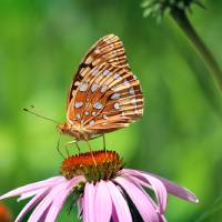 Great Spangled Fritillary on Coneflower by Karen Adams