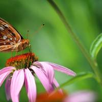 Balancing Great Spangled Fritillary Butterfly by Karen Adams