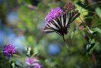 One Tailed Zebra Swallowtail Butterfly