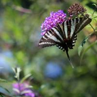 One Tailed Zebra Swallowtail Butterfly by Karen Adams