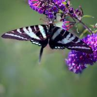 Zebra Swallowtail Butterfly Hanging On by Karen Adams