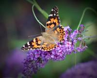 Painted Lady Butterfly Dorsal View