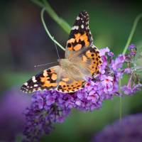 Painted Lady Butterfly Dorsal View by Karen Adams