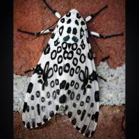 Giant Leopard Moth Dark Edge by Karen Adams