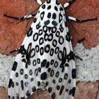 Giant Leopard Moth  by Karen Adams