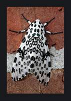 Giant Leopard Moth with Border