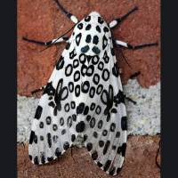 Giant Leopard Moth with Border by Karen Adams