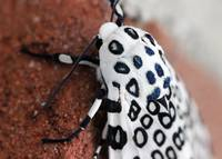Sneaking Up on Giant Leopard Moth