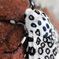 Sneaking Up on Giant Leopard Moth  by Karen Adams