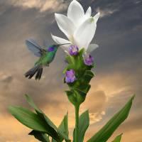 Hummingbird and Curcuma Flower by I.M. Spadecaller