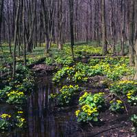 fowler woods marsh marigolds z