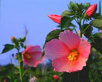 swamp rose mallow large z