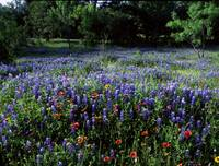 texas wildflowers bluebonnets and indianblanket z