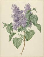Branch with purple lilacs, Mary Geertruyd Barbiers