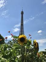 Sunflower of the Eiffel Tower