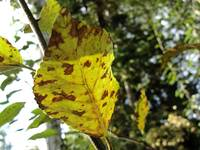 Autumn Leaf in Yellow and Brown