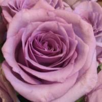 Romantic Purple Roses Art Prints & Posters by Marie Millard