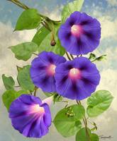 September Morning Glory