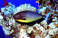 Sleek Unicornfish 'Naso hexacanthus'
