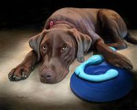 Boots and His Toys - Chocolate Labrador Retriever