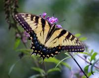 Eastern Tiger Swallowtail Butterfly Dorsal View
