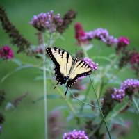 Eastern Tiger Swallowtail in Meadow 2017 by Karen Adams