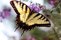 Eastern Tiger Swallowtail Butterfly in Summer