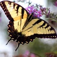 Eastern Tiger Swallowtail Butterfly in Summer by Karen Adams