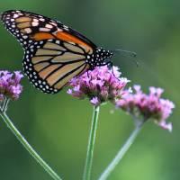 Monarch Butterfly on Three Verbena Flowers by Karen Adams