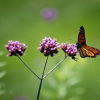 Monarch Butterfly Balanced 2017 by Karen Adams