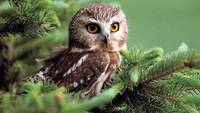 Brown Owl In The Pine Tree