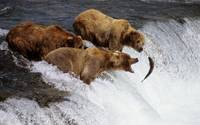 Brown Bears Catch Salmon