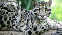 Clouded Leopard Up Close