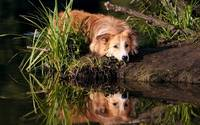 Collie Mix Water Reflections