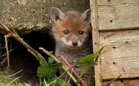 Cute Red Fox Cub Hides