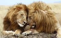 Lion Contentment