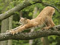 Lynx Cat Stretch