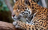 Leopard Rests On A Tree