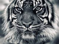 Magnificent Tiger Up Close