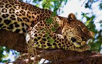 Pleasant Dreams Leopard