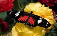 Red and Black Butterfly On A Yellow Flower